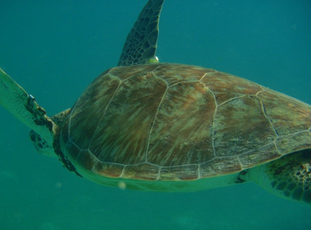 010312 Snorkelling with turtles Tobago Cays