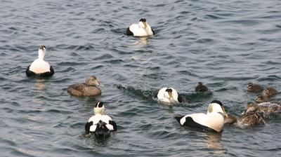 051012 12 Christianso Eider Ducks (abo) Breeding Season