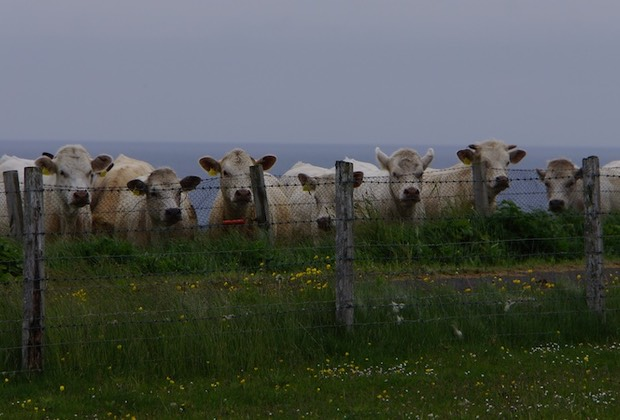 062213 Curious Cows Westray