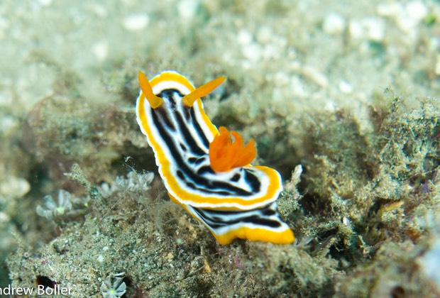 Timor - Magnificient Chromodoris