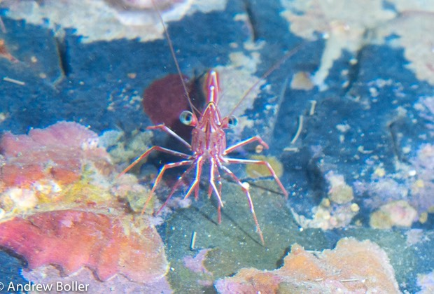 Timor - Dancing Shrimp