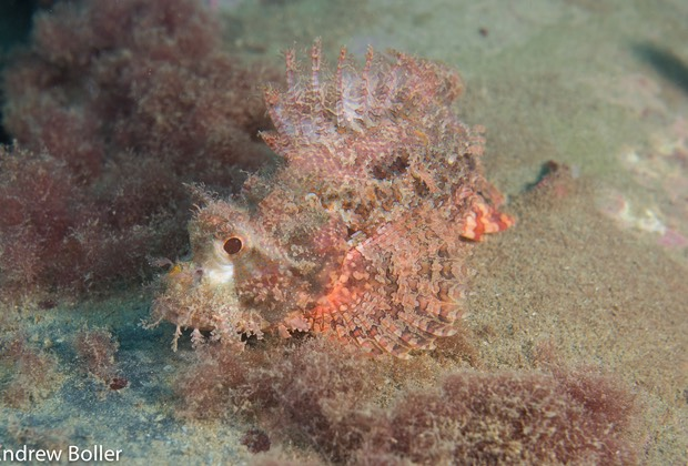Timor - Scorpion Fish