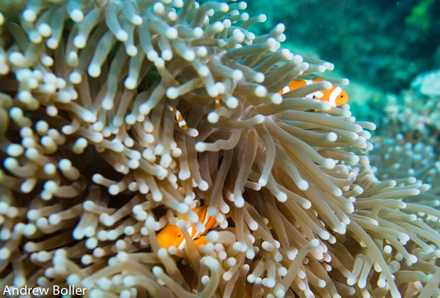 Timor - Clown Fish