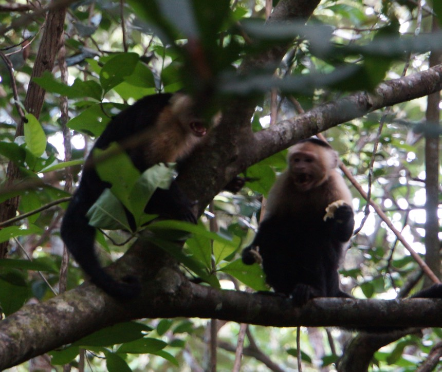 140210 5 Walking Fort Sherman - 140210 3 Walking Fort Sherman - White-headed Capuchin