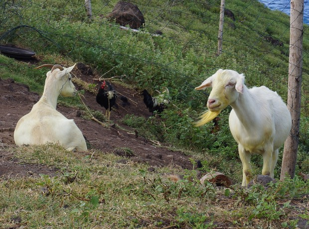 140405 Seriously yellow goats on Hiva Oa