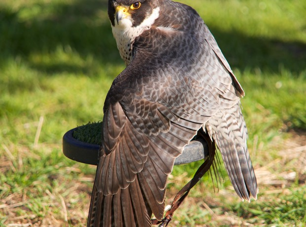 160419 12 Leeds Castle began 1278 Peregrine Falcon
