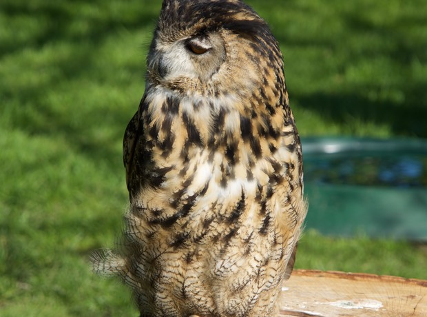 160419 9 Leeds Castle began 1278 European Owl