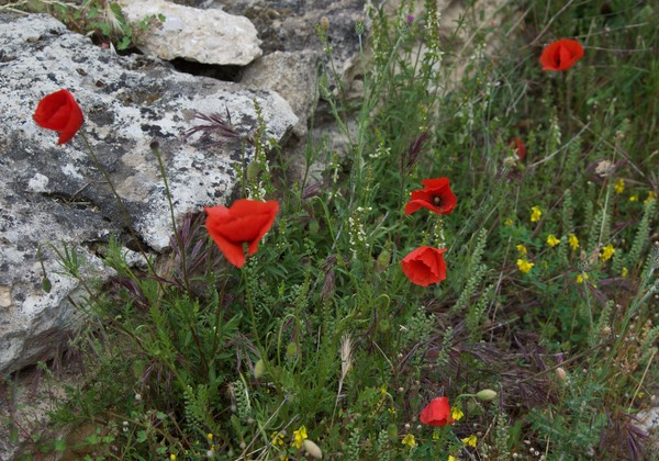 170511 Village des Bories, Gordes Poppies