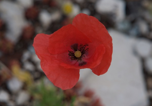 170531 Drive day to Gorge Du Verdon Poppy up close