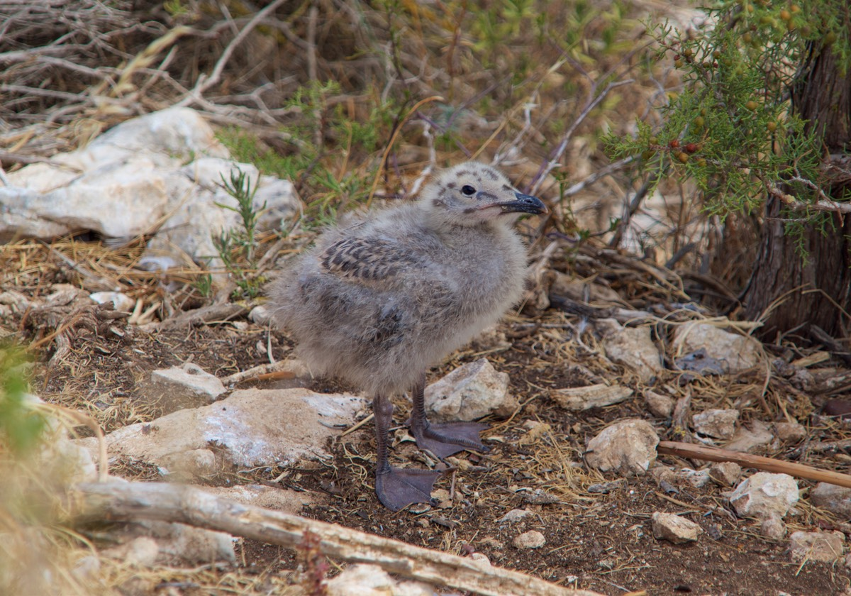 180605 Walking to the top of Penyal d Ifac Baby seagull