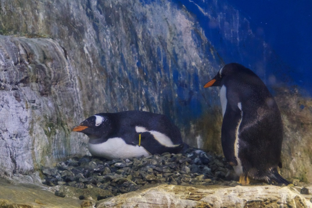 180608 12 Valencia Aquarium Experience with Jim and Cathy Gentoo Penguin Nesting
