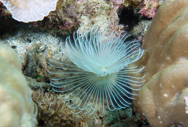 Timor - Tube Worm