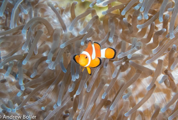 Timor - Top Clown FIsh Photo