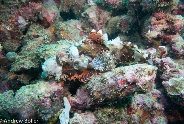 Timor - Camouflaged Scorpion Fish