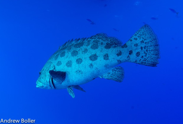 Great Barrier Reef Cod