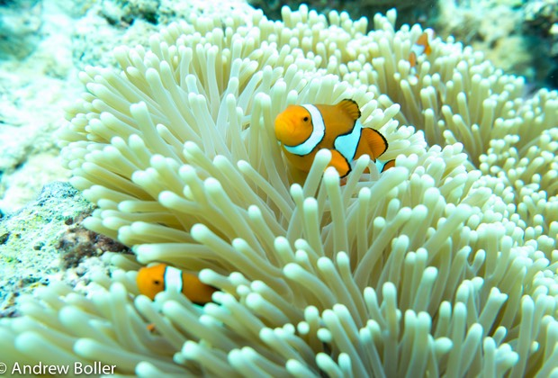 Great Barrier Reef Ocellaris Clown FIsh